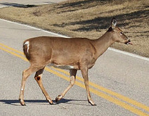 deer in the road