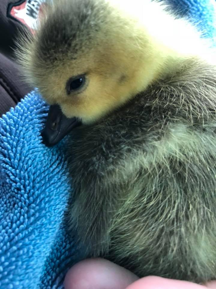 A single orphaned Canadian gosling that was found by itself in the rain. Transferred to a bird rehabilitator for care