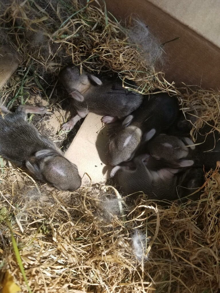 Baby Cottontail Rabbits