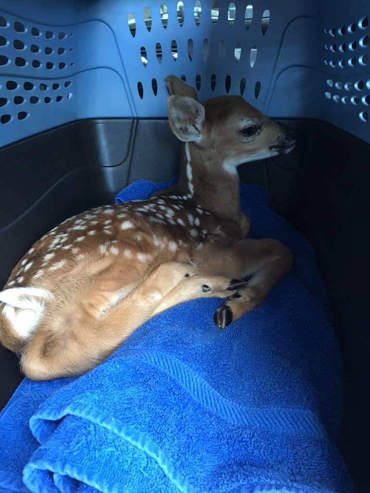 A fawn with a head injury. Transferred over to a local rehabilitator.