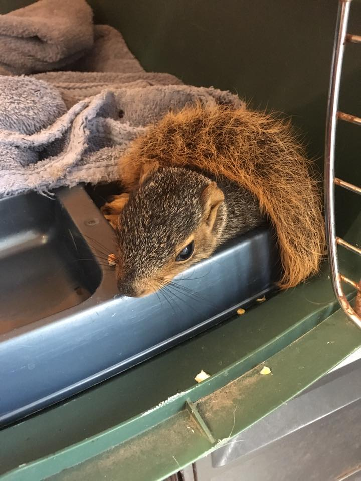 An injured sub-adult squirrel. He was taken to the Wildlife Care Clinic at Iowa State University for treatment.