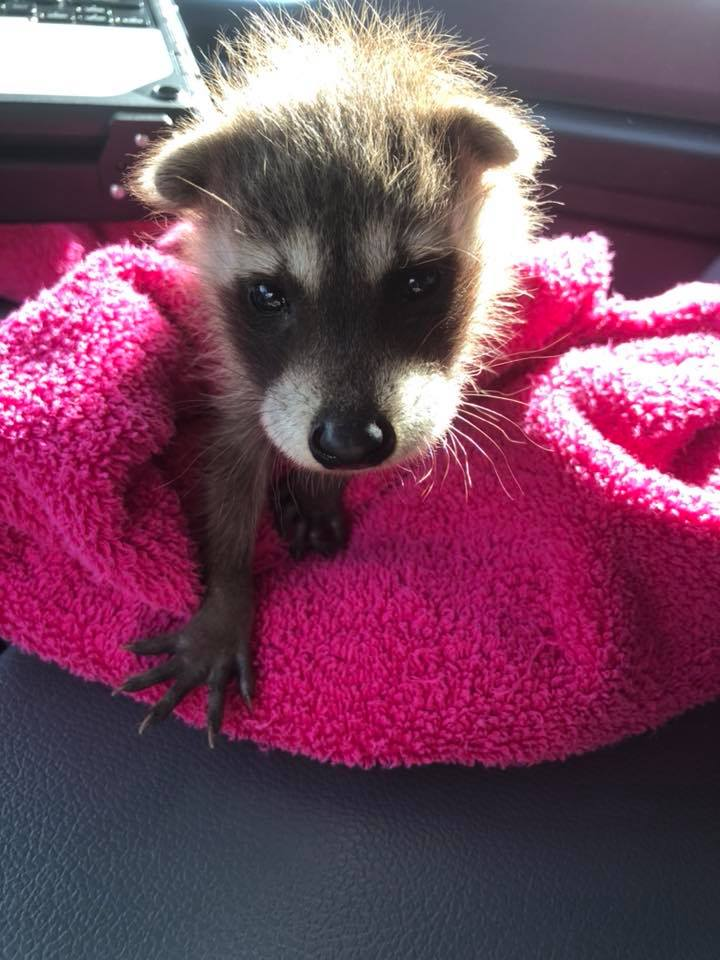 A raccoon baby (called a kit) that was found alone and was not able to be reunited with mom. He was taken by a wildlife rehabilitator in Ames
